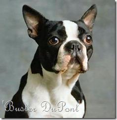 Source: http://www.google.co.uk/imgres?imgurl=http://www.myenglishbulldog.co.cc/photo/Boston%2520Terrier2.jpg&imgrefurl=http://myenglishbulldog.co.cc/boston-terrier-bulldog/&usg=__IcQzAC0tkXwAQPeFf-BT7PH_sPc=&h=341&w=340&sz=68&hl=en&start=50&zoom=1&tbnid=ZrGy1yapNOjHJM:&tbnh=163&tbnw=168&ei=sXs8TZ7GD8qWhQfdm5XQCg&prev=/images%3Fq%3Dboston%2Bterrier%2Bfrench%2Bbulldog%2Bcross%26hl%3Den%26biw%3D1436%26bih%3D679%26gbv%3D2%26tbs%3Disch:1&itbs=1&iact=hc&vpx=276&vpy=264&dur=793&hovh=225&hovw=224&tx=145&ty=129&oei=5nk8Tce-MoW6hAeQqZGHCg&esq=4&page=3&ndsp=19&ved=1t:429,r:1,s:50